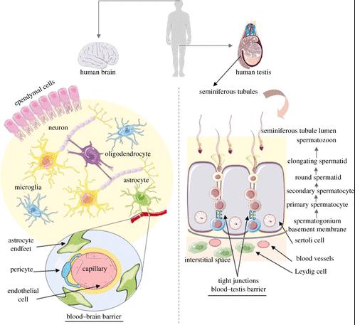 ニューロンと精子はどちらもエキソサイトーシスが起こる
