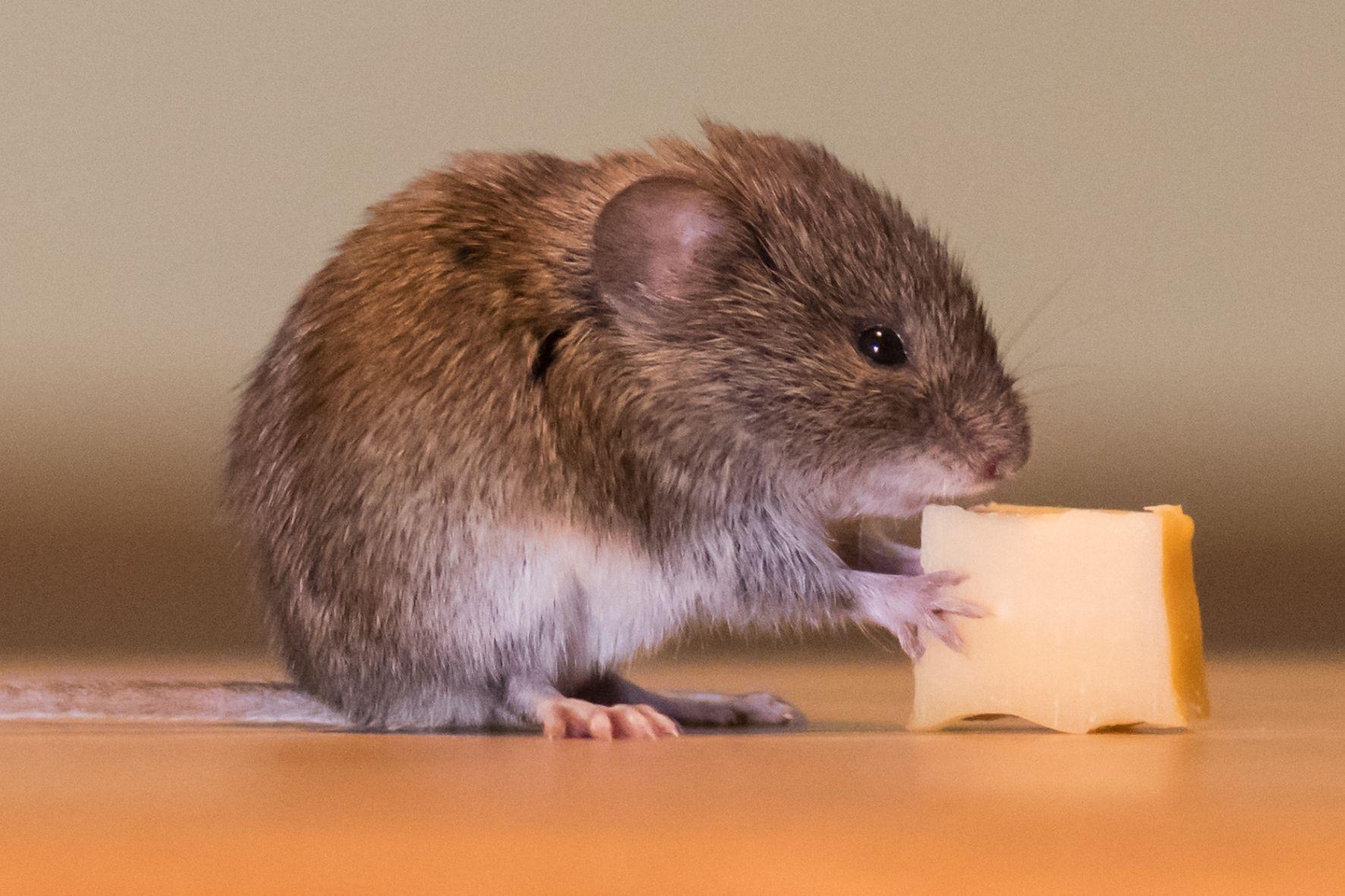 食事中のマウス
