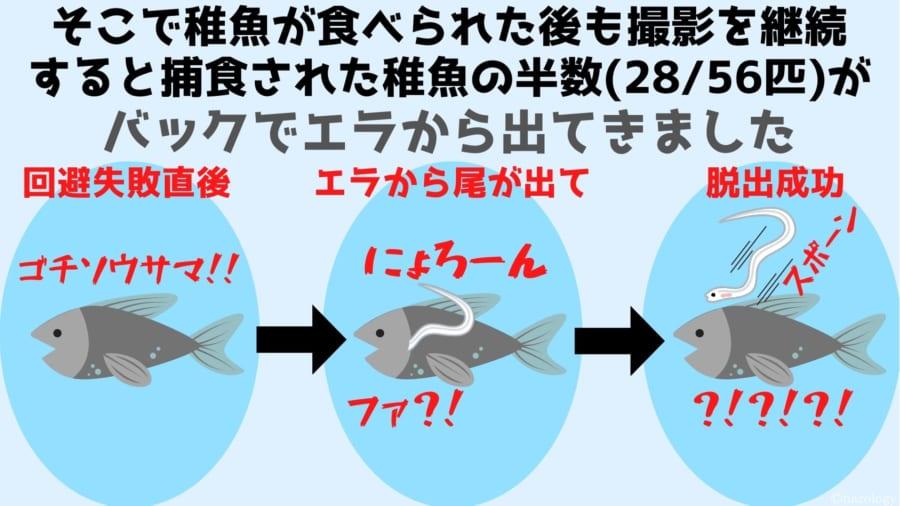 そこで稚魚が食べられた後も撮影を継続 すると捕食された稚魚の半数(28/56匹)がバックでエラから出てきました