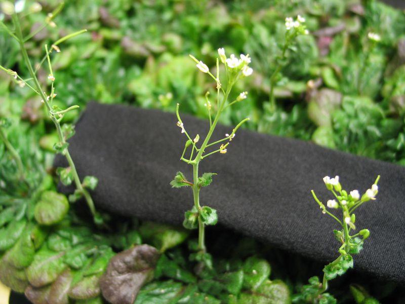 中央のシロイヌナズナの花茎(真ん中辺り)に注目