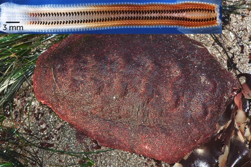 岩を噛める「鉄の歯」を持つ生物、レアな鉱石を歯に取り込んでいたと明らかに