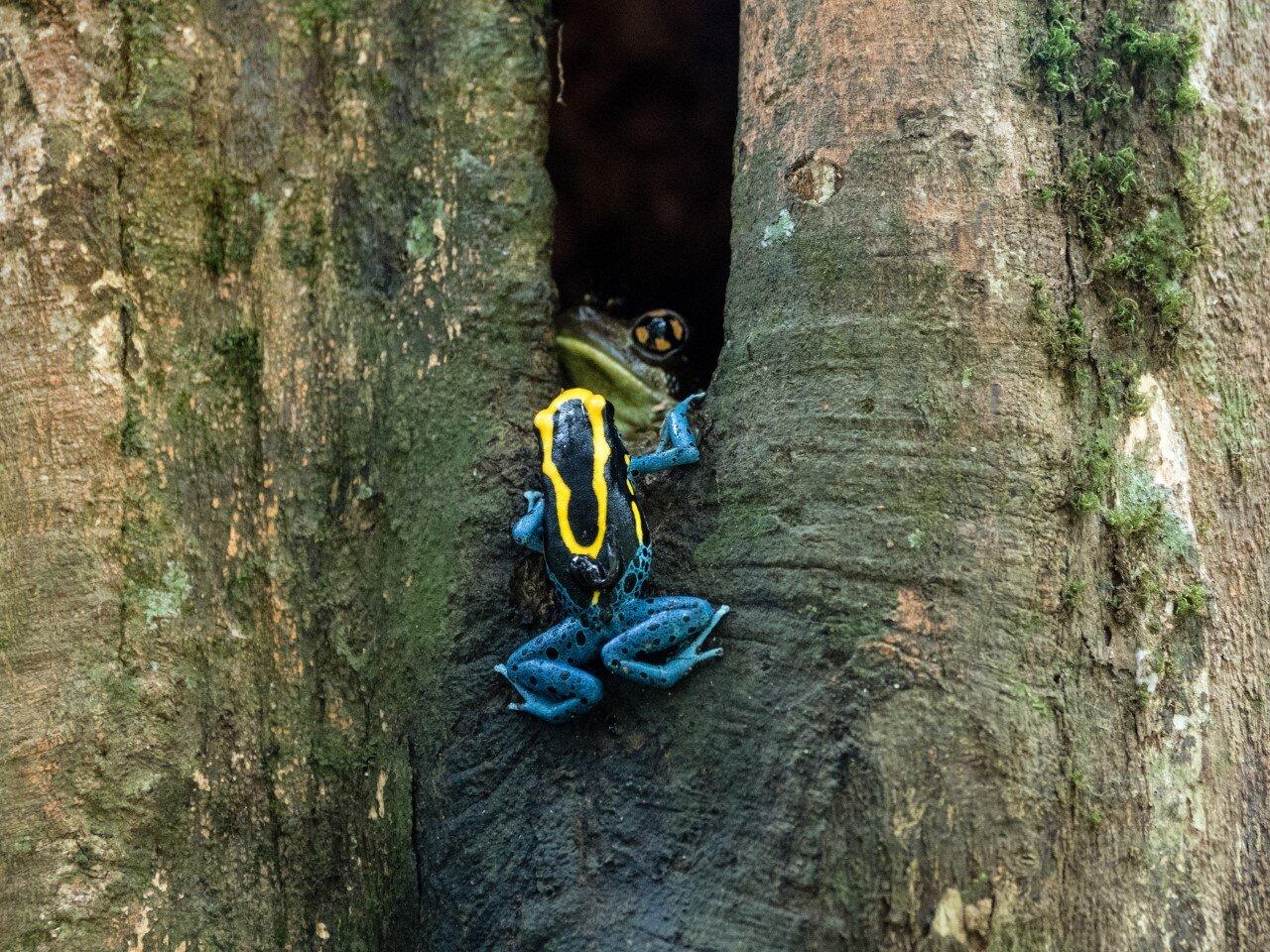 子供を背負って木を登るアイゾメヤドクガエル