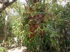 シダ植物「プラティセリウム・ビフルカツム」は真社会性を持つ?