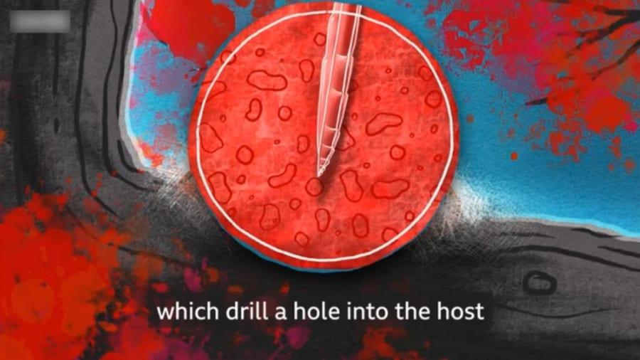 卵管は3つの要素が束になっており、1つずつスライド式に前進する