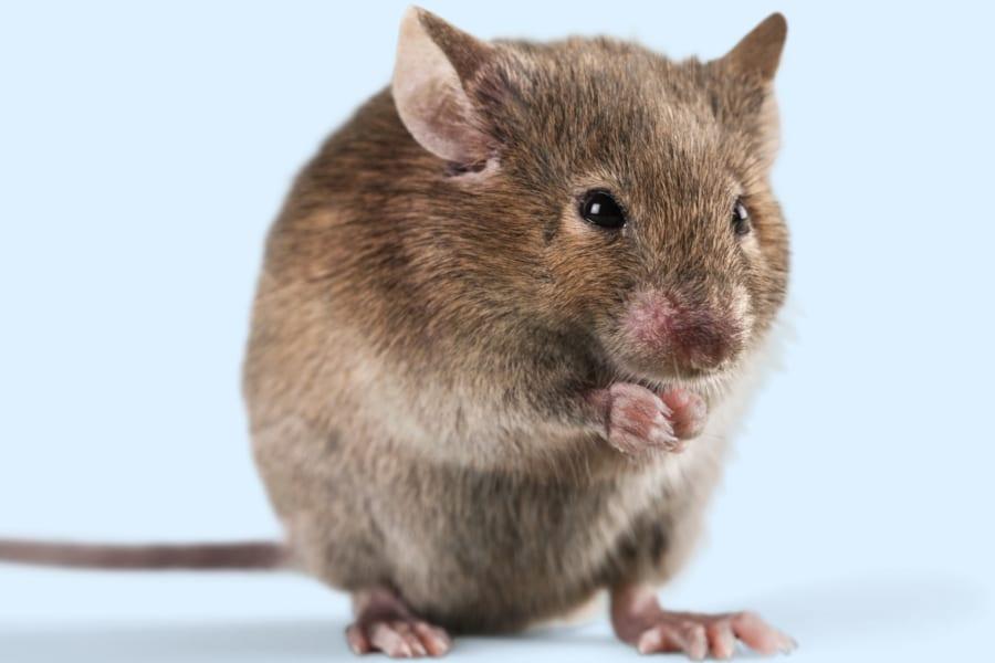 世界初「幹細胞から人工卵子」を作りマウスを誕生させることに成功