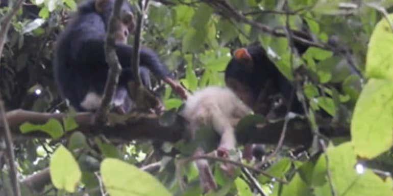野生下で初確認されたアルビノチンパンジー、しかし悲惨な最期に