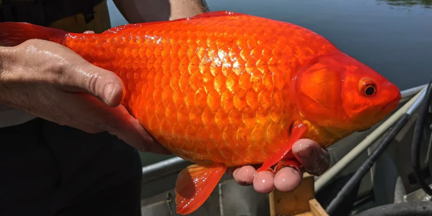 アメリカの湖で捕獲された巨大金魚