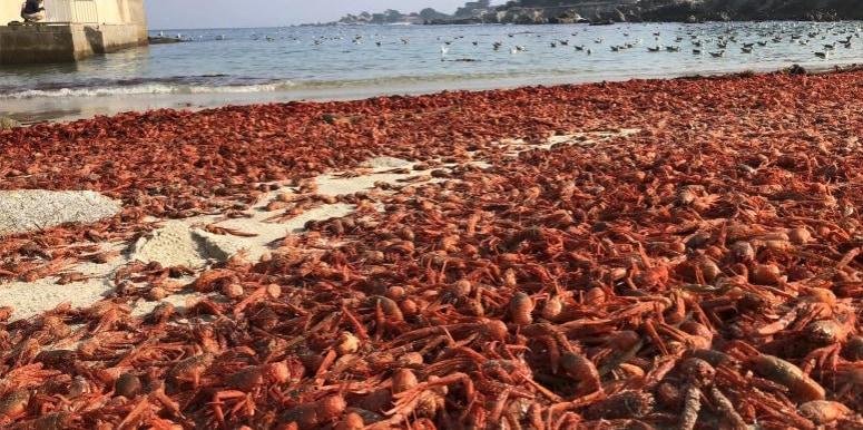 大量のコシオレガニが座礁した様子