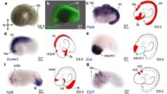 幹細胞から複数の臓器をもつ胚様体が造られた