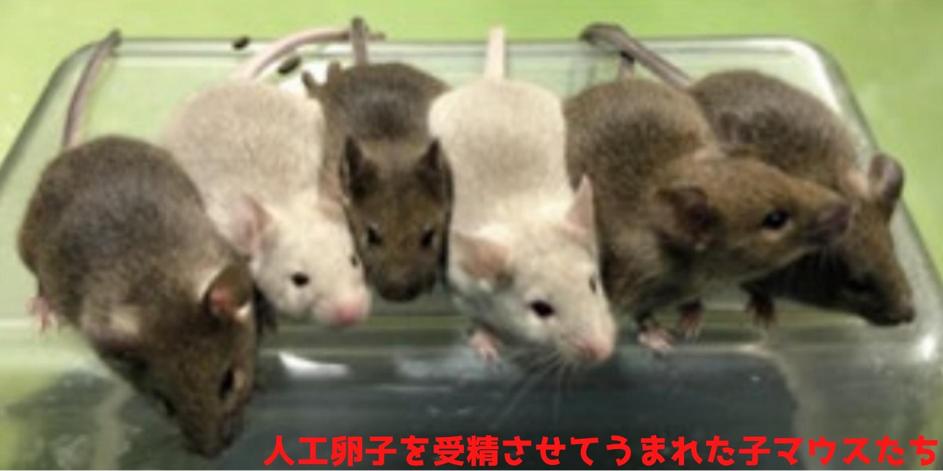 幹細胞のみで卵子を作り受精させて子マウスを誕生させることに成功!