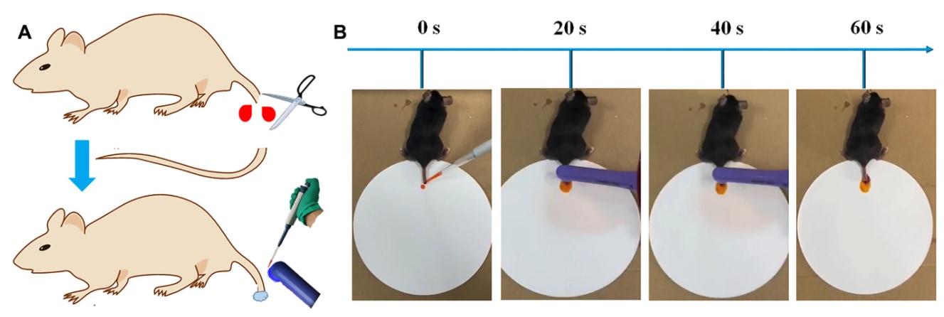 マウスの尻尾を切って凝固剤を塗布