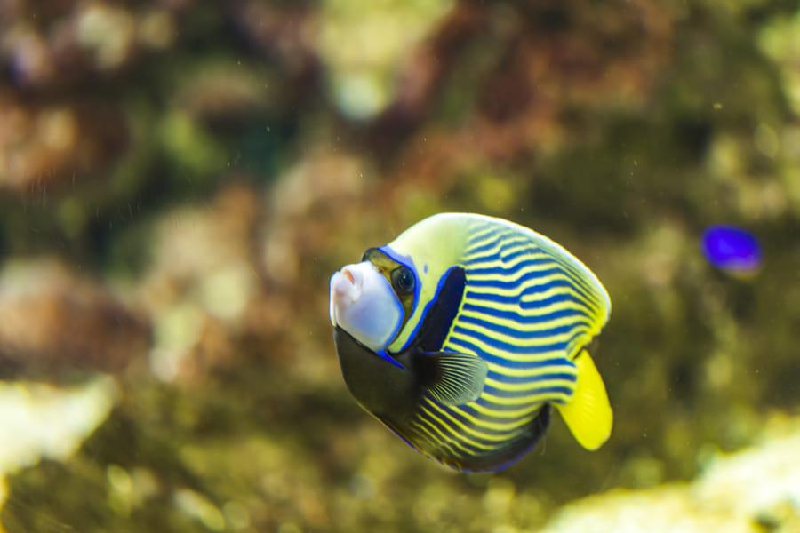熱帯魚の縞模様にはチューリング・パターンが見られる