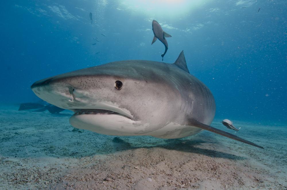 サメの中でも大型種の「イタチザメ」