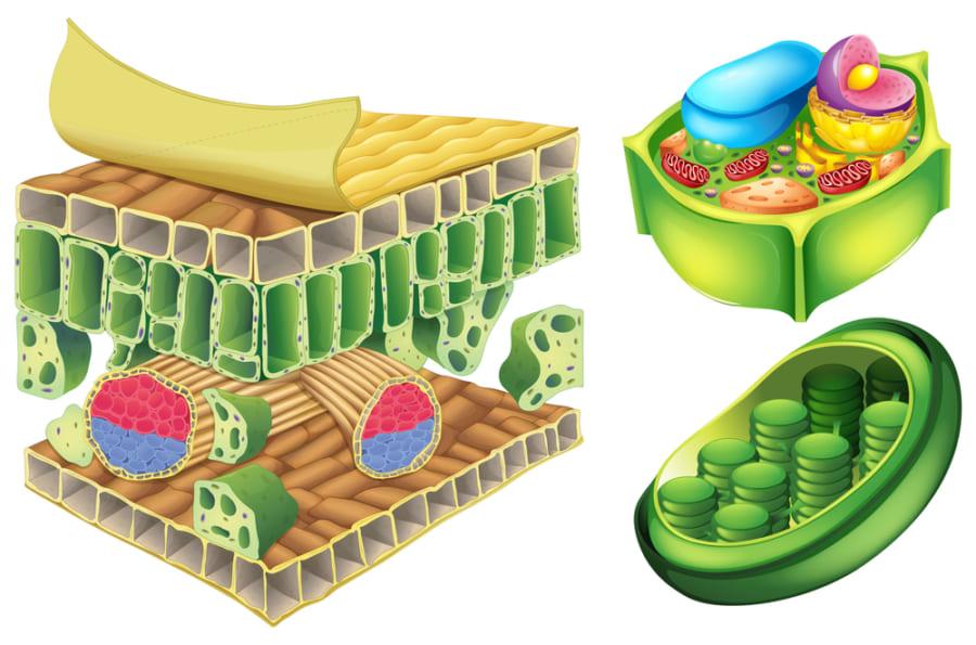 植物の細胞壁の主成分であるセルロース