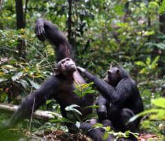 ロアンゴ国立公園に暮らすチンパンジー