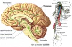 (左)緑色の楕円形が青斑核,(右)迷走神経