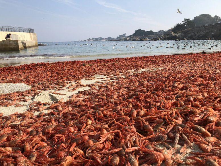 数百万のコシオレガニが座礁する謎を解明、「イレギュラーな海流」に流されていた