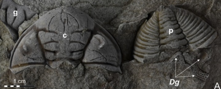発見された三葉虫の化石、左側の個体に目の修復が見られる