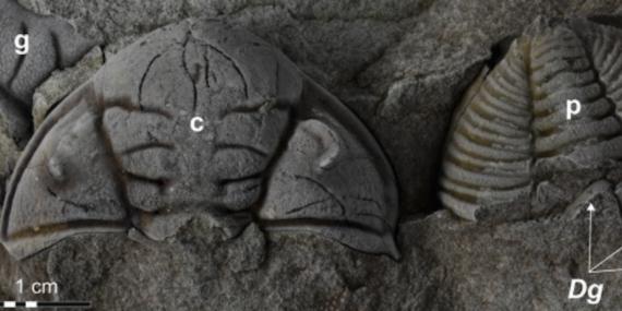 チェコで見つかった三葉虫の化石