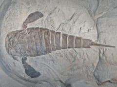 ウミサソリの一種・Eurypterus remipesの化石