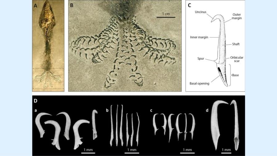 アンモナイトを縦に押し潰した感じの化石には奇妙なフックがあった