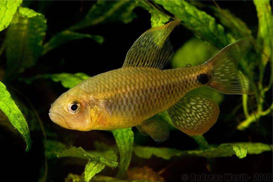 強いオス魚は「寝取る」ため他のオスに求愛行動を代行させていた