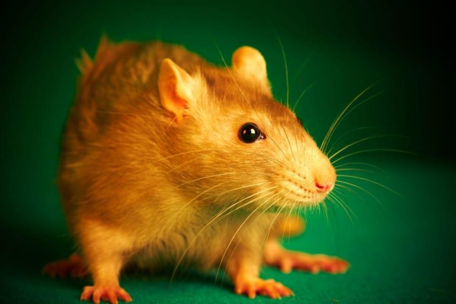 腸内細菌を持たないマウスが「ボッチ」になる理由が明らかに