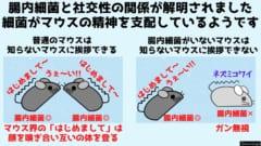 腸内細菌がないマウスは社交性が低くボッチになる