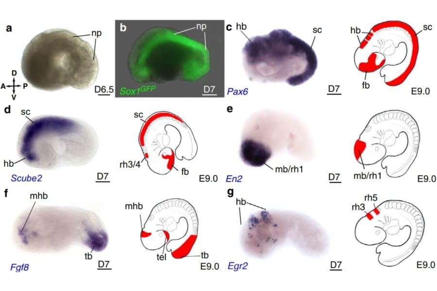 幹細胞から「脳や心臓をもつ擬似的な胚」を作ることに成功