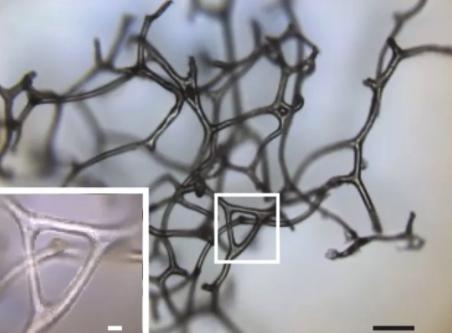 現生する海綿の繊維ネットワーク