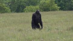 ロアンゴ国立公園のチンパンジー