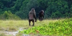 チンパンジーがゴリラを襲撃、世界初の事例