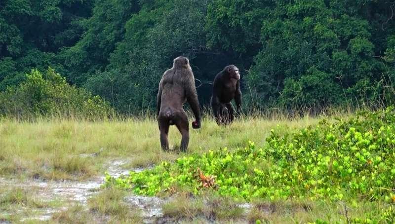 「野生のチンパンジーがゴリラを殺害」世界初の報告がされる(アフリカ)