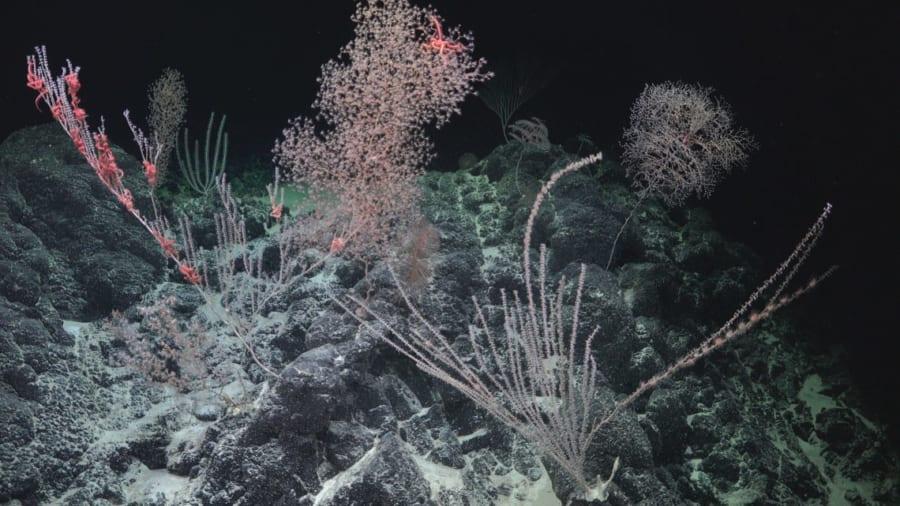 アメリカ領海内の海山で撮影されたサンゴ礁