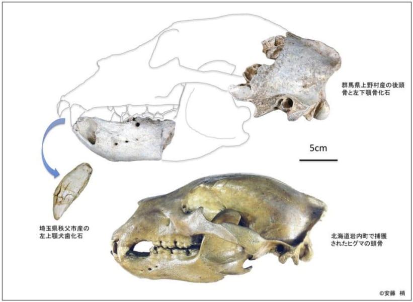 研究で分析された約3万2500年前の本州のヒグマの標本(上)、北海道南部のヒグマの骨(下)、大きさがかなり異なる点に注意。