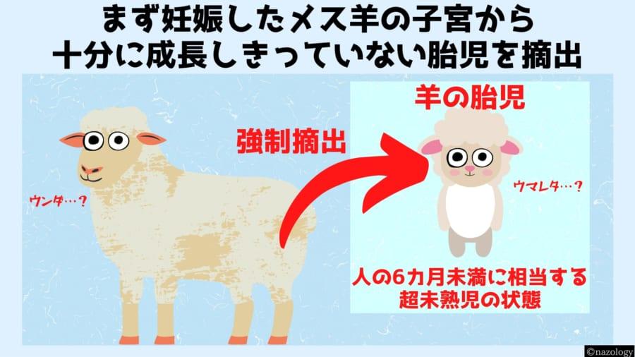 羊は胎児の研究に最も使われる動物である