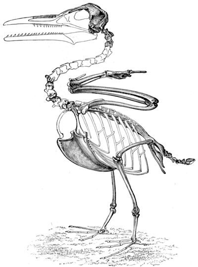 イクチオルニスの骨格図
