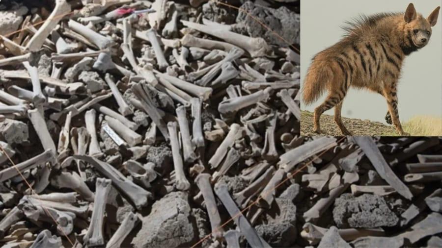 何十万もの骨で床が埋まっている「恐怖の洞窟」の持ち主はシマハイエナだった
