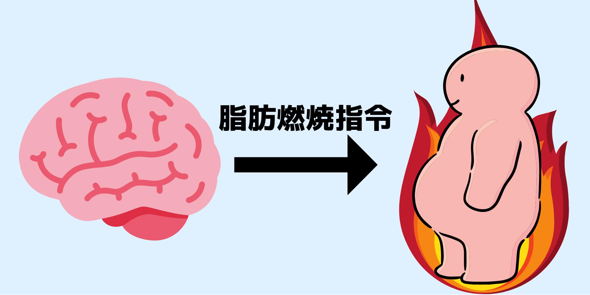 脳と内臓脂肪の間に神経接続があると判明! 内臓脂肪は脳の命令で燃焼していた