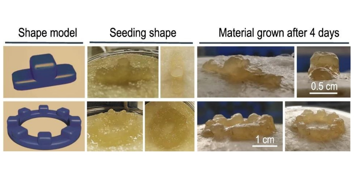 BC(バクテリアセルロース)スフェロイドを使用して構築された2つの3D形状の成長例