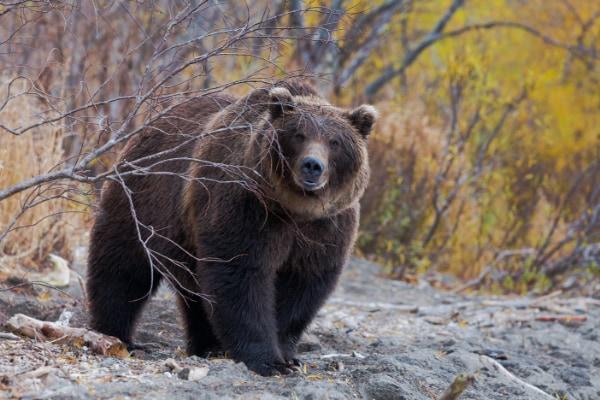 かつて本州に生息していた巨大なヒグマのルーツが明らかになる
