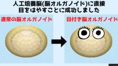 脳オルガノイドに神経接続された目はやすことに成功! ①