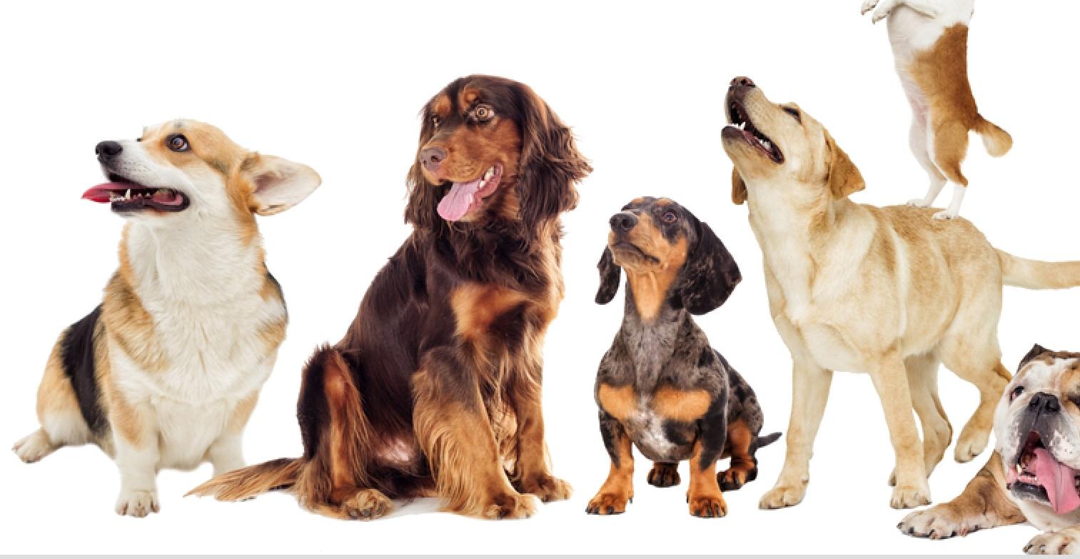 イヌの様々な毛色パターンは家畜化より前に存在していた⁈