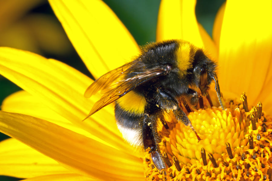 カフェインは「ハチ」の記憶力も向上すると明らかに