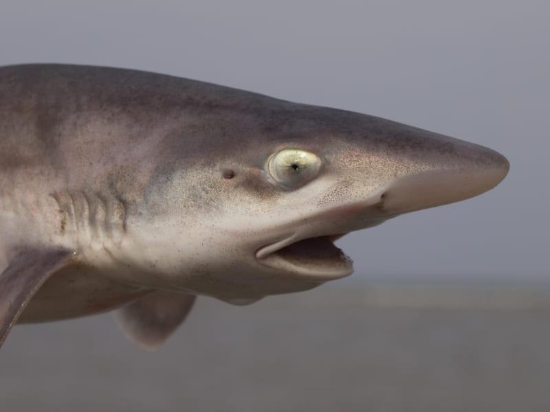 10年間メスだけの水槽でホシザメが「処女出産」、世界で初めて成功