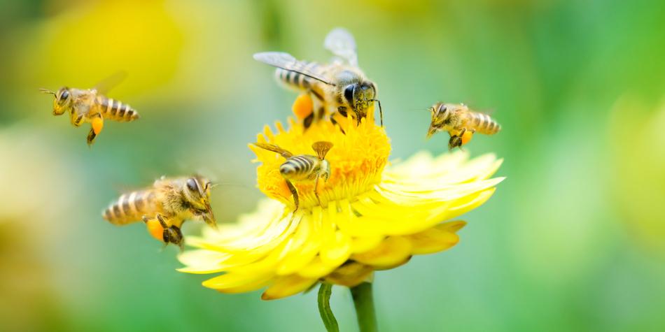 ハチは怒るほど、毒の質が高まる?
