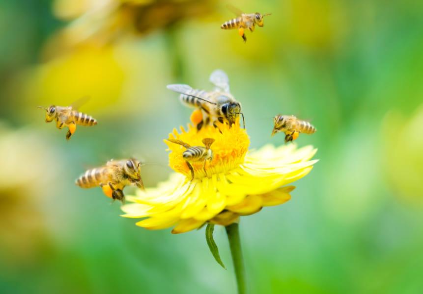 怒れるハチほど、毒の質が高いことが判明