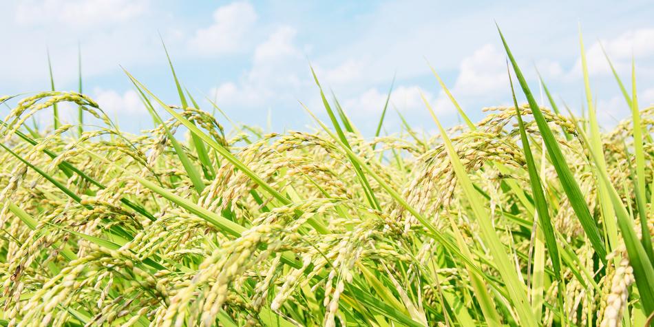 RNAを操作して作物の収穫量を倍に