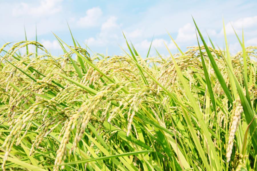 動物が持つFTO遺伝子で作物のサイズ・収穫量を50%増加させることに成功