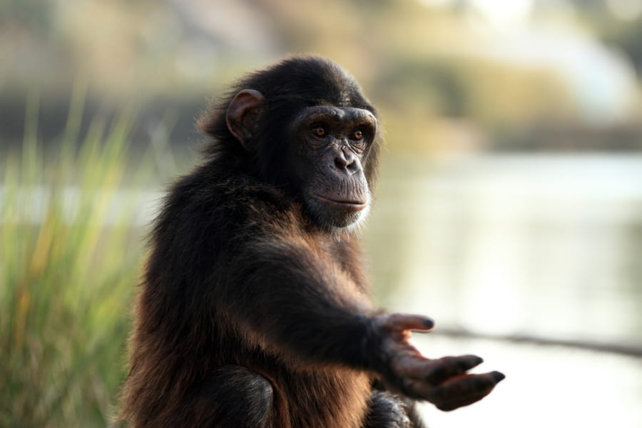 類人猿にも「ハロー、グッバイ」に当たるコミュニケーションの開始・終了の合図があった